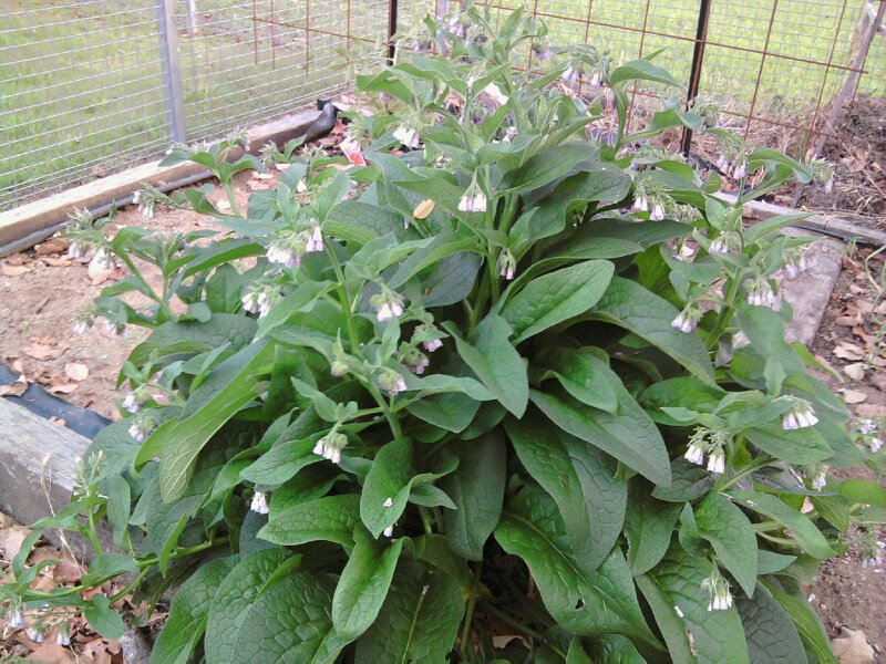 Comfrey Symphytum uplandica x by Susun Weed  Weed